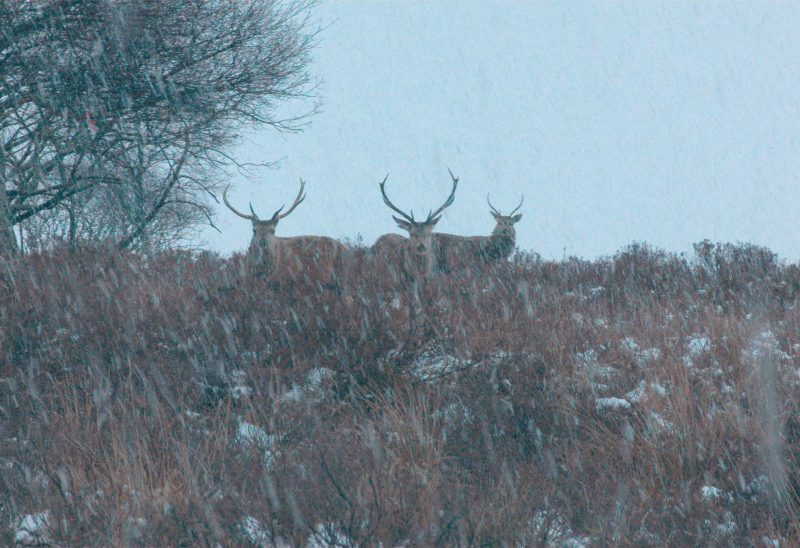 Three deer in a snowy landscape, image courtesy of the artist